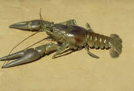 Invasive Invertebrates Rusty Crayfish