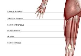 See how many you can write down. Anatomy Of The Hamstring Muscles