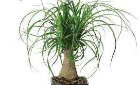 Full Size of Plant:p Yucca Amazing Indoor Palm Plants Yucca Plant Satire  Report House ...