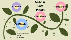 C3 C4 Cam Plants By Hebatalla Mohamed On Prezi Next