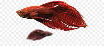 petsmart black goldfish. Interesting Petsmart Siamese Fighting Fish Goldfish Aquarium PetSmart  On Petsmart Black E