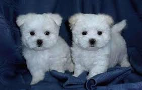 maltese dog. twinsies is listed (or ranked) 2 on the list cutest maltese pictures dog