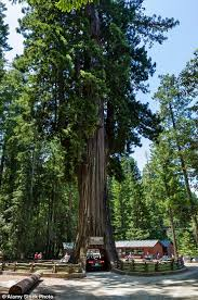 a car driving through the 2 400 year old chandelier tree