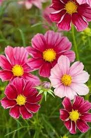 garden flowers. Garden Flowers Cosmos
