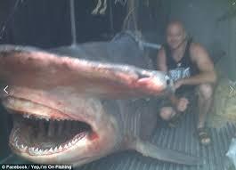 great hammerhead shark caught. Fine Hammerhead Mark U0027Hammeru0027 Dixon Caught The 17 Foot Monster Shark Off Evans Head On And Great Hammerhead Shark Caught R