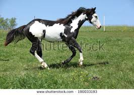 black and white paint horses running. Simple Running Black And White Paint Horses Running For And N