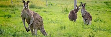 Hasil gambar untuk Marsupialia