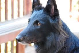 belgian belgian shepherd dog groenendael face breed
