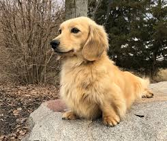 mare bella dachshunds