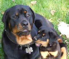 rottweiler dog baby. images of rottweilers | baby rottweiler puppies dog p