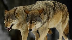 Wolf Species Size Chart Germany S Wolf Population On The Rise New Data Shows