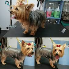 yorkie haircuts before and after