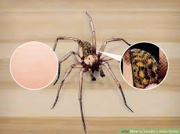 How To Identify A Hobo Spider 10 Steps With Pictures