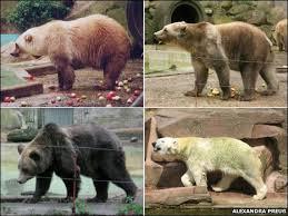 grolar bear size bbc earth news polar bear plus grizzly equals