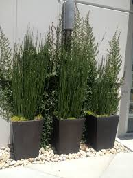 Equisetum Hyemale Scouring Rush In Containers Plant List Patio