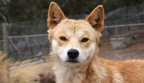 Our Dogs Into Provide Companions Insight The Eyes Of How Dingo Became Yalenews