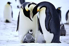 cute baby penguin wallpaper. Wonderful Baby Cute Penguin Wallpapers For Iphone Throughout Baby Wallpaper S