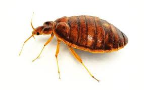 Bed Bugs Types Of Insect Pests Adams