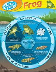 Frog Life Cycles Chart