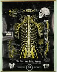 Chiropractic Wall Charts Details About Vintage Spinal Nerve Chiropractic Chart