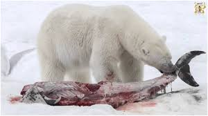 home • net what do polar bears eat