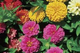 zinnias add blasts of color to sunny flower beds