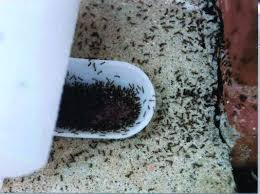 Small Red Ants In Kitchen How To Get Rid Of Ants In House Fast
