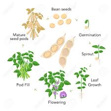 Soybean Plant Growth Stages Infographic Elements In Flat Design