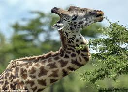 Image of: Pictures Male Giraffes Often Fight With Each Other In Order To Win The Affections Of Nearby Females Daily Mail Giraffe Survives In The Wild For Five Years With Broken Neck