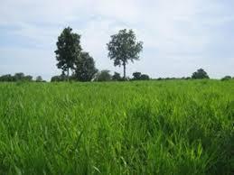 ขายส่ง 100,000 เมล็ด เมล็ดพันธุ์หญ้ารูซี่ Ruzi Grass หญ้าพันธุ์รูซี่ Brachiaria  ruziziensis หญ้าคองโก้ Manila Grass เมล็ดพันธุ์หญ้า หญ้าพันธุ์ อาหารสัตว์  หญ้าเลี้ยงวัว หญ้ากินนี หญ้าอะตราตัม ถั่วฮามาต้า หญ้าเนเปียร์ หญ้าพาสพาลัม  ต้นหญ้า หญ้าอาหารสัตว์ ...