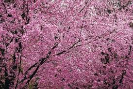 How To Prune Plum Trees 11 Steps With Pictures  WikiHowPlum Tree Not Producing Fruit