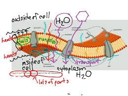 cell membrane structure gen bio cell membrane structure