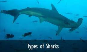 shark facts and information