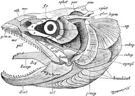 fish skull   clipart etcfish skull