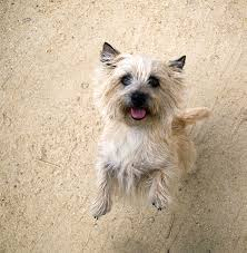 black cairn terrier mix. Exellent Cairn Cairn Terrier Dog Breed Picture In Black Mix D