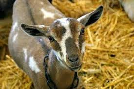 Dairy Goat Breeds Choosing A Dairy Goat Breed