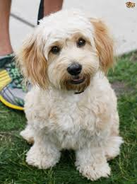 Cavachon Puppy Weight Chart Cavachon Dog Breed Facts Highlights Buying Advice