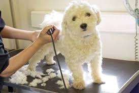 little white dog on a grooming table diy