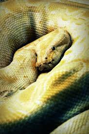 Small Picture The 25 best Burmese python ideas on Pinterest Beautiful snakes
