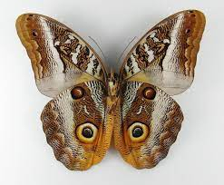 Caligo idomeneus male - AUREUS butterflies & insects