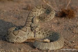 rattlesnake strike pose. Perfect Rattlesnake Northern Mohave Rattlesnake On Strike Pose