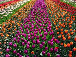 field of flowers free photo