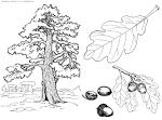Раскраски дерева дуб