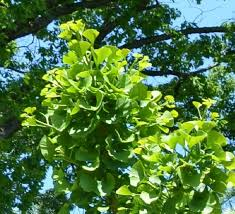 Image result for ginko tree