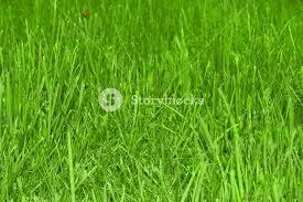 grass field texture. Beautiful Grass Field Texture With Ladybird