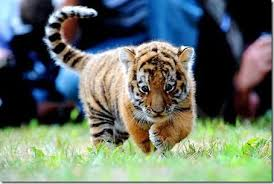 cute baby tiger. Plain Baby Cute Baby Tiger Intended Baby Tiger G