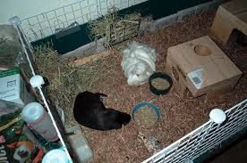 how to clean your guinea pig cage