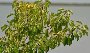 Australia's most poisonous plants