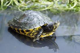 yellow bellied slider care t size