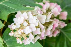 grow and care for oakleaf hydrangea shrubs